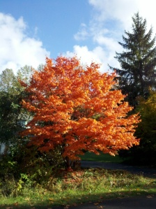 Maple tree on my street