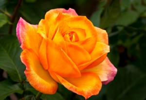 Orange Rose istockphoto
