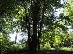 Maple tree before ...