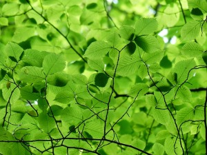 Green canopy of leaves